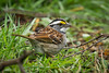 White throated Sparrow. What a surprise to find one of these here in Washington being we do not have them here. He was a bit lost I think.