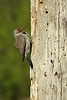 Northern Flicker hanging on his newly built hole.