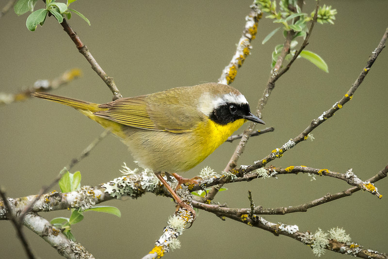 Common Yellow Throat. Wood Warbler family. Though little guy to catch.