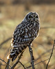 Backlit Short Eared Owl along the Stilliguamish river, Stanwood, Wa.