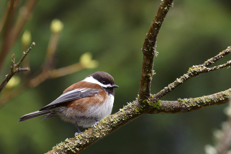 Chestnut-Backed Chickadee, a bit less common than the Black-Capped.