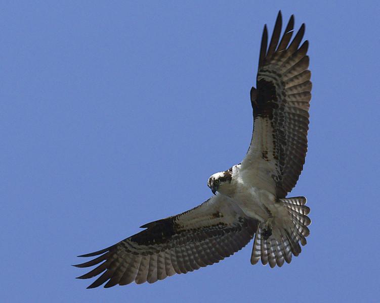 Osprey at Juanita Bay Park