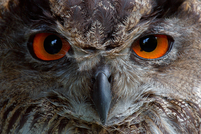 Watching you!        <br /> Eurasian Eagle Owl.....not found here in the US unless in captivity, although not a zoo shot.. This one is privately owned.