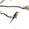 Blue-Tail Bee Eater