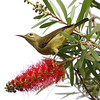 Female Olive-Back Sunbird
