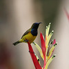 Male Olive-Backed Sunbird posed for the camera