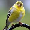 Do I look like a canary?