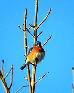 Defiant Bluebird