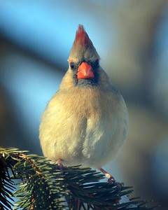 Conehead Bird from France