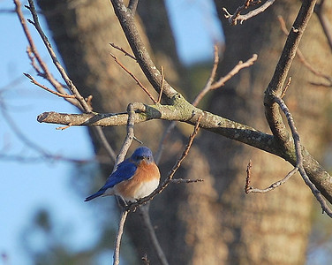 Big Scary Bluebird