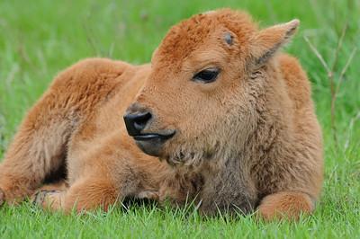 Alberta - Bison at Elk Island National Park