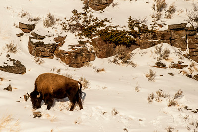 Bison at Cliff, in Snow, Yellowstone