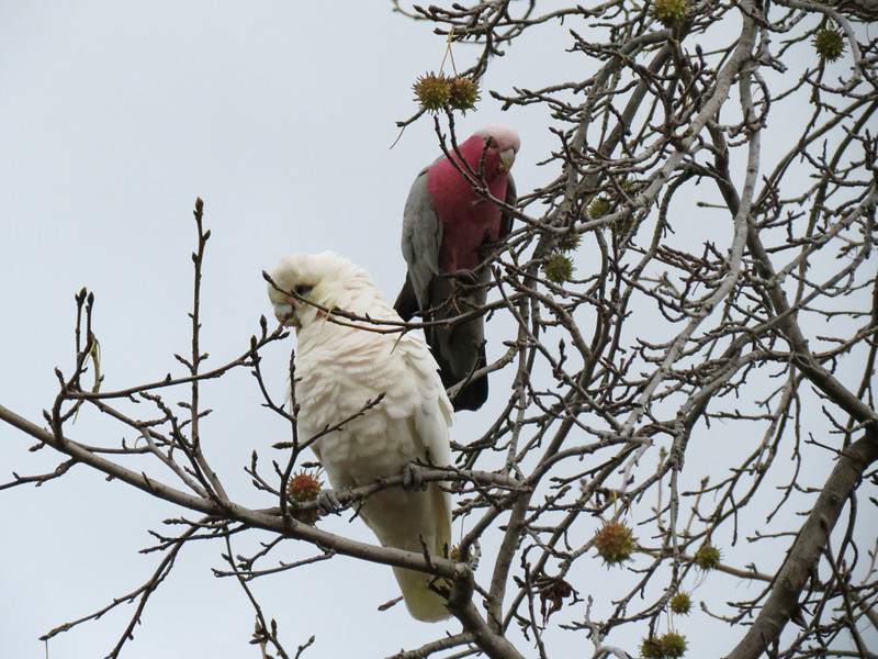 Little Corella and Galah feasting in the Liquid Ambar right outside the front door.<br /> May 2012