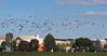 Straw-necked Ibis at Knox City Shopping Centre, May 2012<br /> (the few light ones are Australian White Ibis)