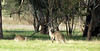 Eastern Grey Kangaroos at Woodlands<br /> May 2012