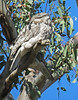 Tawny Frogmouths<br /> Woodlands, May 2012