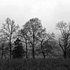 Trees on a foggy morning in Cades Cove, Great Smoky Mountains.