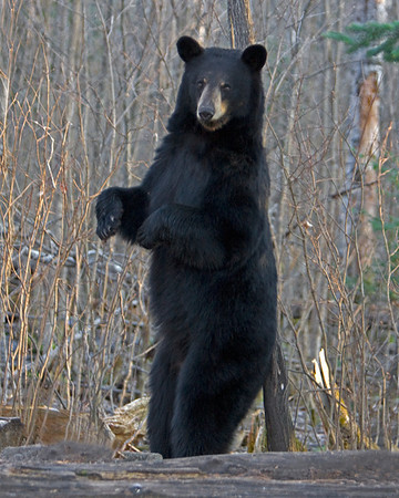 This Black Bear rubbing his back photograph was captured in Orr, Minnesota (5/08).  This photograph is protected by the U.S. Copyright Laws and shall not to be downloaded or reproduced by any means without the formal written permission of Ken Conger Photography.
