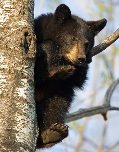 This Black Bear yearling photograph was captured in Orr, Minnesota (5/07).   This photograph is protected by the U.S. Copyright Laws and shall not to be downloaded or reproduced by any means without the formal written permission of Ken Conger Photography.