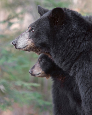 This Black Bear female and her yearling photographed was captured in Orr, Minnesota (5/08).  This photograph is protected by the U.S. Copyright Laws and shall not to be downloaded or reproduced by any means without the formal written permission of Ken Conger Photography.