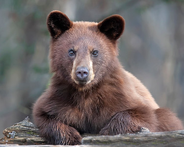 Red Phase Black Bear Yearling