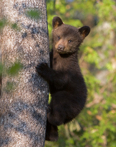 This Black Bear cub photograph was captured in Orr, Minnesota (5/07).   This photograph is protected by the U.S. Copyright Laws and shall not to be downloaded or reproduced by any means without the formal written permission of Ken Conger Photography.