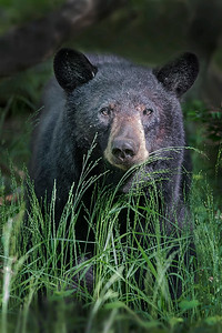 This photograph of a Black Bear was captured in Shenandoah National Park, Virginia (6/14). This photograph is protected by the U.S. Copyright Laws and shall not to be downloaded or reproduced by any means without the formal written permission of Ken Conger Photography.