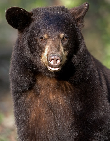 This Black Bear photograph was captured in Orr, Minnesota (5/07).   This photograph is protected by the U.S. Copyright Laws and shall not to be downloaded or reproduced by any means without the formal written permission of Ken Conger Photography.