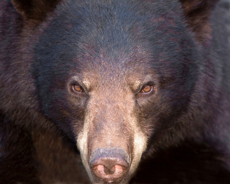 This Black Bear photograph was captured in Orr, Minnesota (5/08).  This photograph is protected by the U.S. Copyright Laws and shall not to be downloaded or reproduced by any means without the formal written permission of Ken Conger Photography.