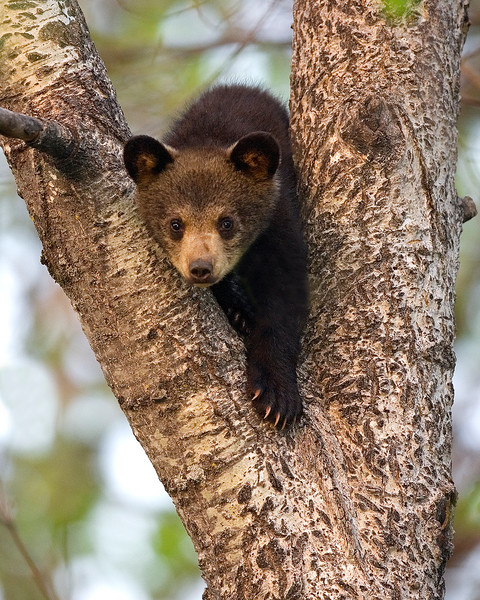 This Black Bear cub photograph was captured in Orr, Minnesota (5/08).  This photograph is protected by the U.S. Copyright Laws and shall not to be downloaded or reproduced by any means without the formal written permission of Ken Conger Photography.
