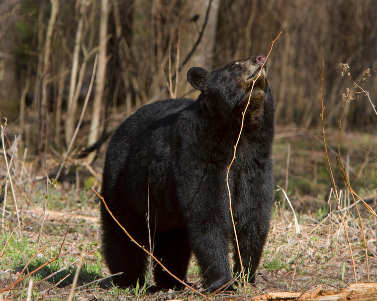 This Black Bear photograph was captured in Orr, Minnesota.  He is smelling another bear's scent marking (5/08).  This photograph is protected by the U.S. Copyright Laws and shall not to be downloaded or reproduced by any means without the formal written permission of Ken Conger Photography.