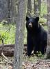 Black Bear-51111-7