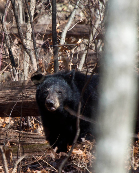 Black Bear on Skyline Drive