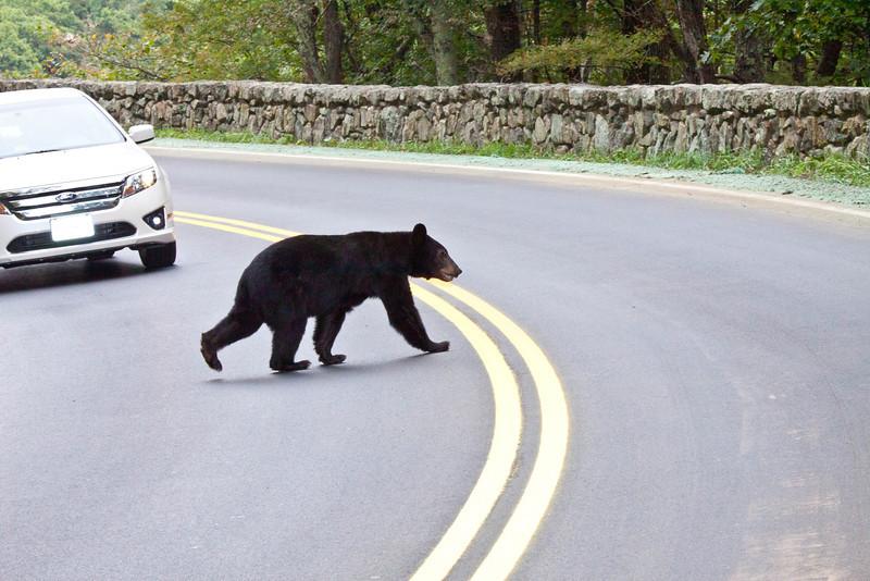 Black bear crossing road, Skyline Drive