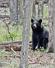 Black Bear 5286-1