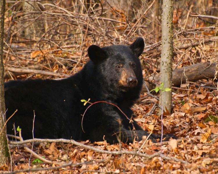 Black Bear 11221-1