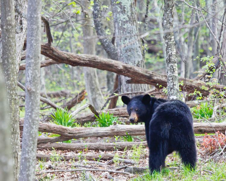 Black bear along road on Skyline Drive Virginia