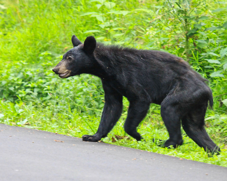 Black Bear -5-1