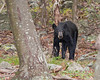 Black Bear 3521-1
