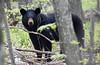 Black Bear-51111