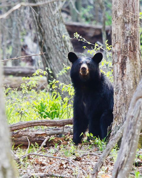 Black Bear 5260-1