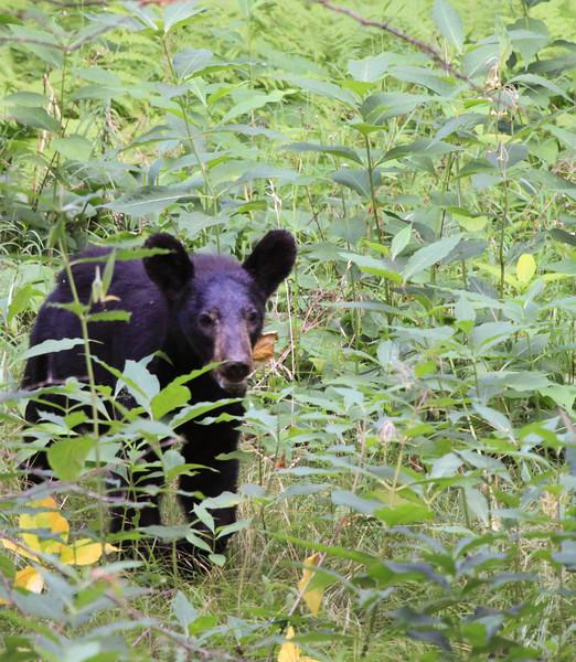 Black bear-2