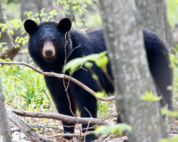 Black Bear 51111-1