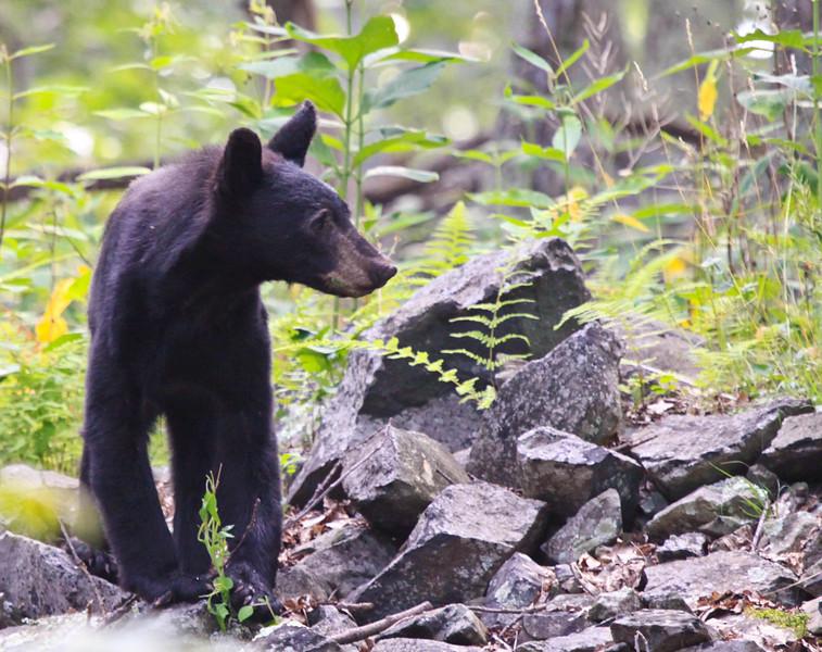 Black Bear -4-1