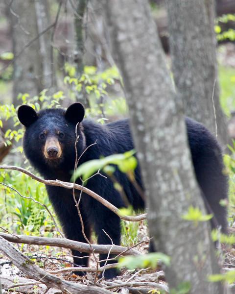 Black Bear 5139-1