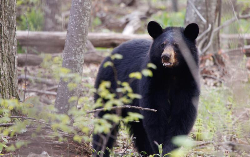 Black Bear-51111-3