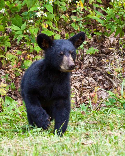 Black bear cub on Skyline Drive, Virginia