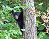 Black bear on Skyline Drive, Virginia