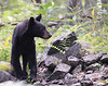 Black bear-4