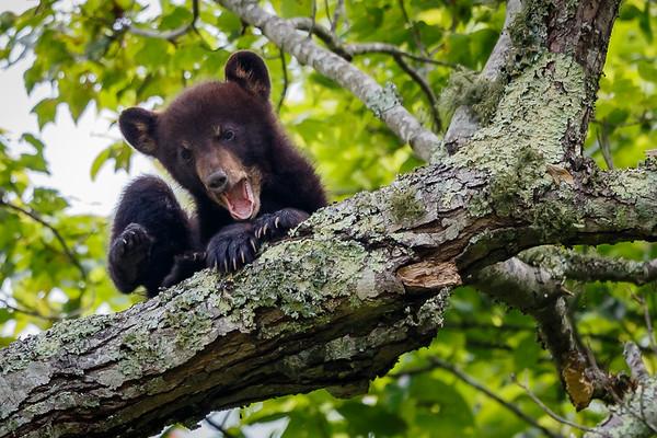 Cub Yawn